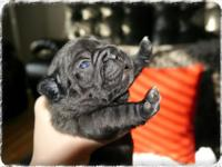 AKC French Bulldog Puppies- BLUE CARRIERS. PUPPIES