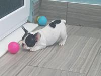AKC Registered French Bulldog Puppies ready to go to