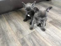 French Bulldog puppies available. All puppies have been