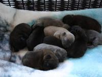 We have a litter of stunning AKC french bulldog puppies
