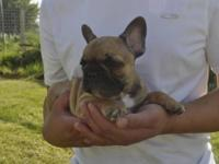 AKC French Bulldog puppies,1 male red & white 1 female