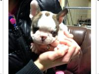 Champion Sired French Bulldog Puppies for sale in