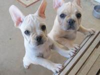 French Bulldog puppies. AKC. 3 months. Shots and