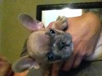 Superior Quality AKC French Bulldog Puppies. Males and
