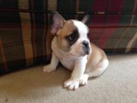 Full AKC Registered French bulldog pups for sale! Male