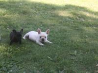 We have 2 beautiful French Bulldog puppies available