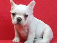 Achieve our 8 week aged French Bulldog young puppies!