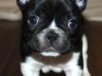 AKC French Bulldog Puppies all female. All set for
