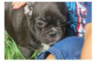 We have offered a lovely litter of AKC reg. Frenchie