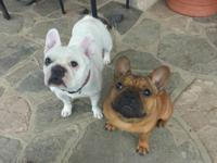 We have 5 French Bulldog young puppies for sale, 3