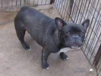French Bulldog young puppies. $2,000 Just born. All set