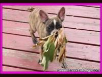 AKC French Bulldog female puppy. Shots and worming