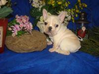 Family raised AKC & ACA registered French Bulldog