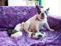 AKC French Bulldog puppies available! Born July 2nd,