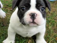 Animal Type: Dogs AKC French Bulldog Puppies ready to