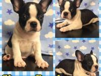 Adorable 8 week old french bulldog puppies sired by