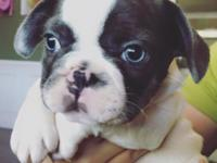I have 3 puppies left: male blue pied $3500 male fawn