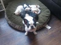 We have ONE female brindle French Bulldog puppy left