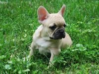 Gorgeous AKC French Bulldog puppies available. Males