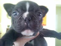 Frenchies available now 1 male & 1 female left out of a
