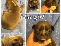 Lady Josefine and Chocolate Goldie puppies are here - a