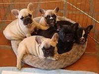 Hello, we are presently rehoming a male French bulldog