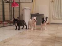 3 beautiful French Bulldog puppies available. Born