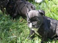 Beautiful Puppies for sale black brindles, girl $2,500