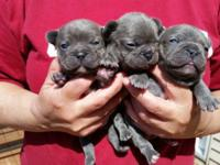 We have puppies! Seven little AKC french bulldogs were