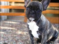 Adorable French Bulldog Puppies Available!!!! Light