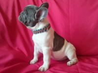 Gorgeous French Bulldog puppies still available to any