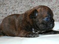 We have 2 stunning AKC French Bulldog puppies offered