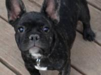 Handsome black brindle male AKC Frenchie. Just over 12