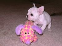 AKC French Bulldog Puppies Female, cream colored :