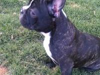 Adorable male French Bulldog puppy for sale. He is the