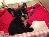 AKC French Bulldog puppy looking for his forever home!