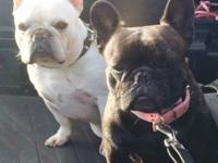 AKC FRENCH BULLDOG PUPPY AXEL X LOLA 1 MALE AVAILABLE 6