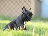 I have up for re-homing an 8 week old French bulldog