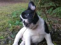 Gorgeous black and white male. Extremely playful and