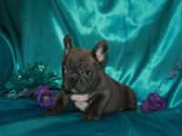Wrangle Born 4/2/2014. liking women Blue brindle french