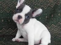Adorable AKC FRENCH BULLDOG female puppy. She is white