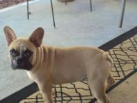 4 month old fawn and white male French bulldog. SHOW