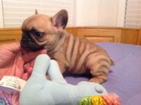 (Chevy) is a High quality akc French bulldog puppy.