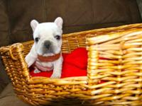 AKC French Bulldog Puppy, just in time for christmas.