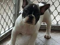 Gorgeous pied French dog, male, 5 months old . Top AKC