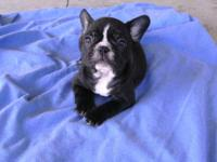 AKC French Bulldog Puppy - Puppies Various colors