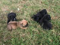 Got a litter of 4 AKC Registered French bulldog puppies
