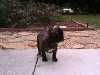 AKC French Bulldog Puppies $1200 per puppy Male,