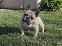 i have a litter beautiful akc frenchie pups that are