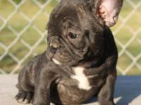 I have a male and female French bulldog puppies